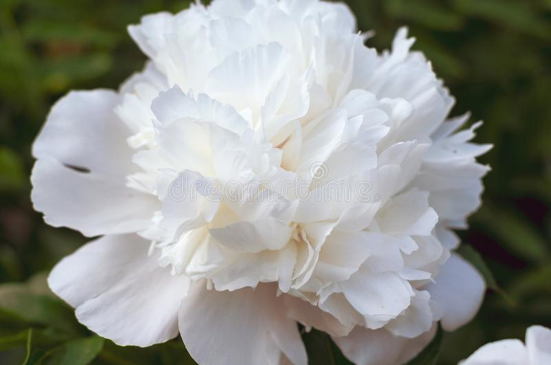 Delicate beautiful single flower of white peony close up stock photos