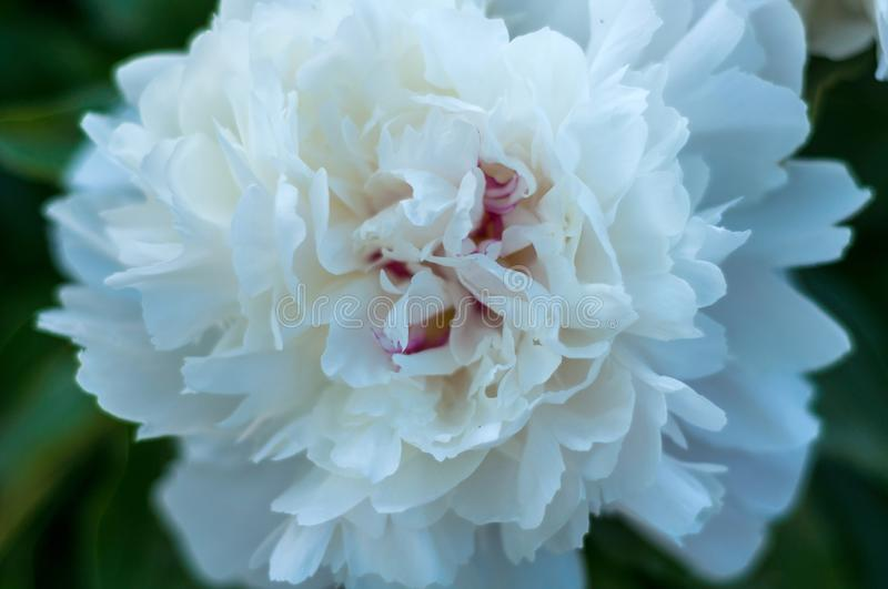 Delicate beautiful single flower of white peony close up royalty free stock photography
