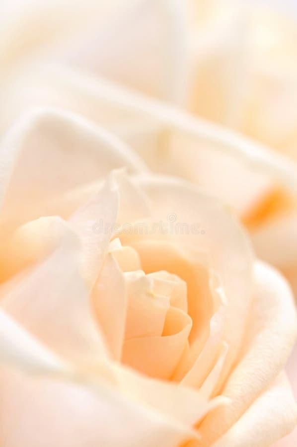 Delicate Beige Roses Stock Photo