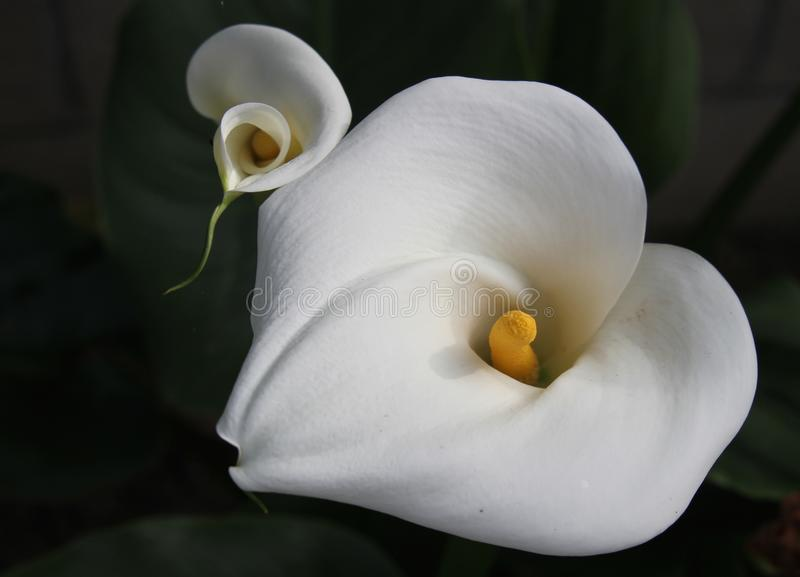 Delicate Calla Lillies blooming royalty free stock photos