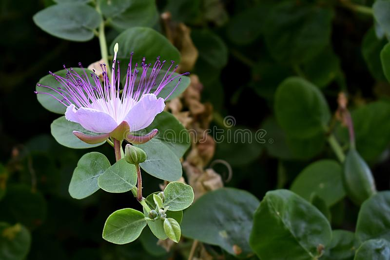 Capparis spinosa white flower with purple pistils. Delicate caper plant flower with white petals and  stamen, and purple pistils on background of green buds and stock photography