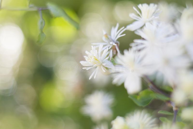 Delicate Clematis vitalba flowers on a sunny summer day, colorful bright background stock images