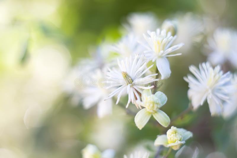 Delicate Clematis vitalba flowers on a summer day, colorful bright soft background stock photography