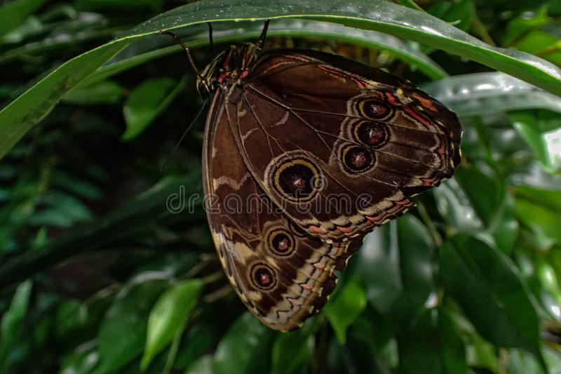 Delicate colorful cultured butterfly in the butterfly house in close-up stock photography