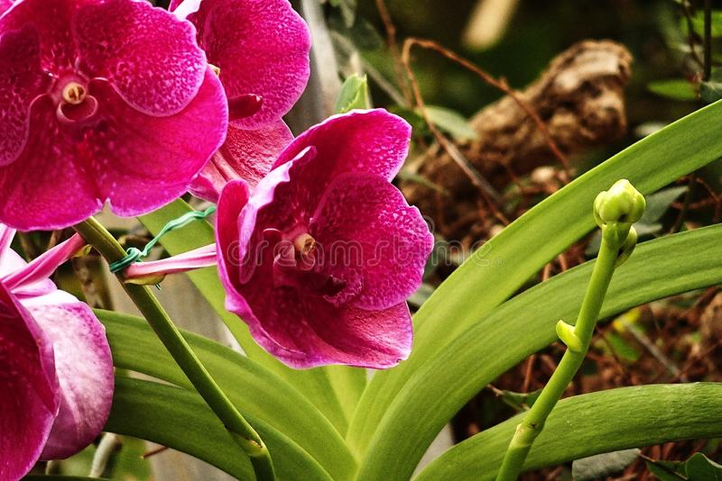Delicate colorful flowers orchids growing in a natural environment in botanical orchard royalty free stock photo