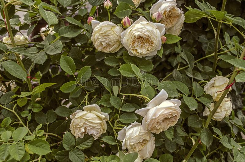 Delicate cream - colored roses attached to the fence around the house royalty free stock photos