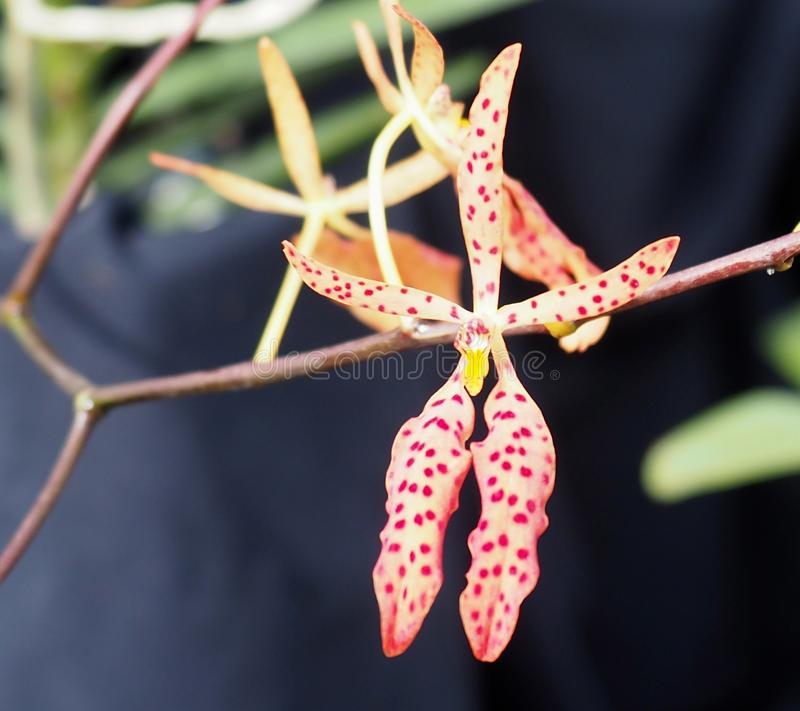 Delicate Cream Coloured Orchid With Red Dots stock photo