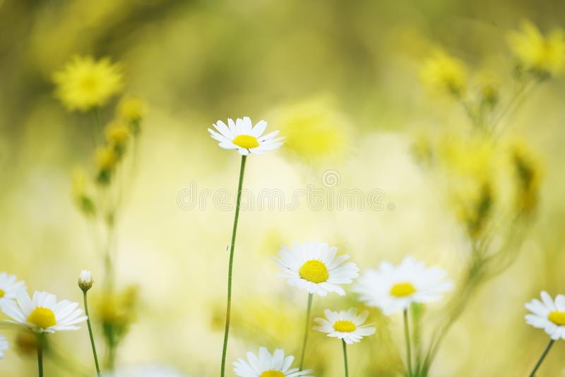 Delicate daisy flowers on the meadow on a sunny day. Soft gentle photo with selective focus. stock image