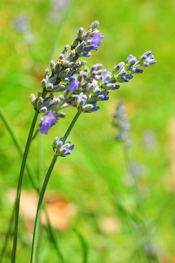 Free Delicate Decorative Blue Lavender Flowers Royalty Free Stock Photo - 26466775
