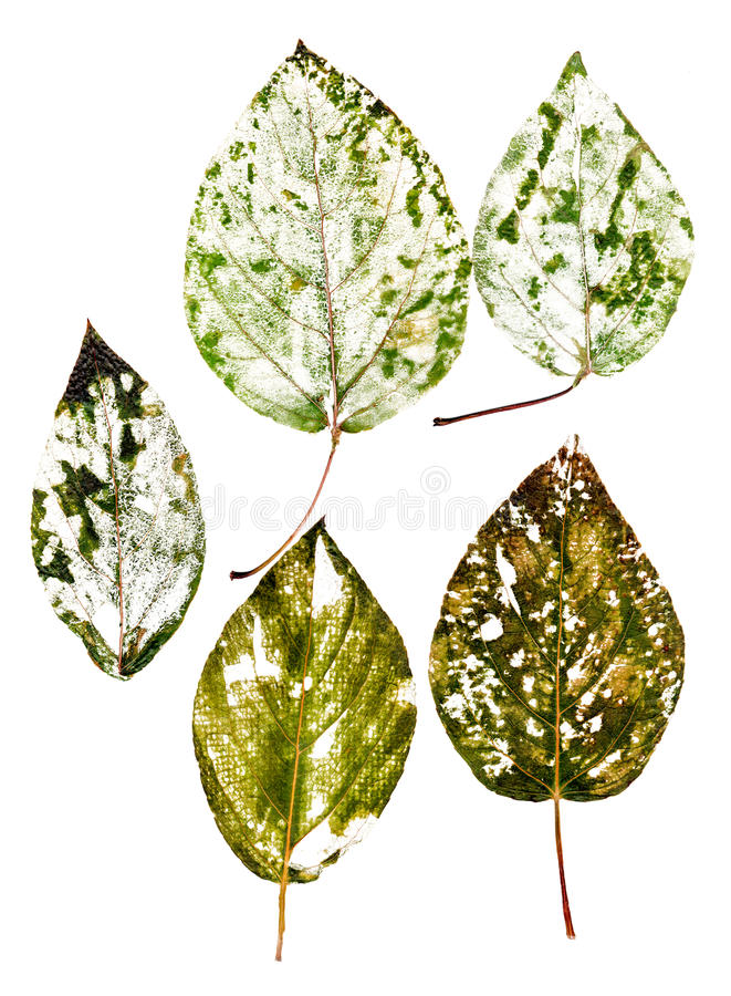 Free Delicate Dried Leaf With Lots Of Detailed Venation Royalty Free Stock Image - 76966456