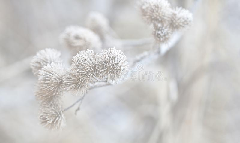 Delicate Dry Plant With Hoarfrost. Small white seeds on dry plants with hoarfrost on a cold winter day in a winterly light royalty free stock photos
