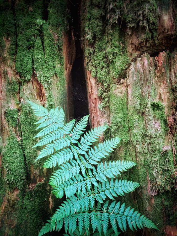 Delicate fern resting against mossy old growth tree stump. Delicate forest fern resting against mossy tree trunk in a temperate, old growth rainforest stock photography