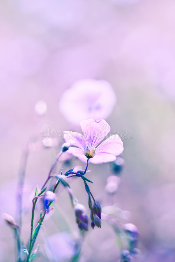 Delicate flax flower. stock photo