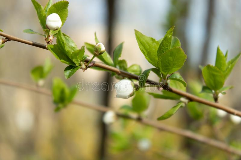 Delicate flower buds on the branches of fruit trees in spring royalty free stock photos