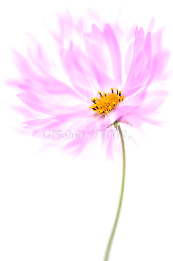 Delicate flower cosmos purple color with airy petals on a white background. stock photos