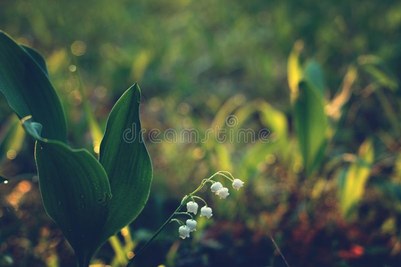 The delicate flower of lily of the valley bowed to the ground at dawn.  stock photo