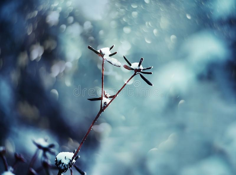 Delicate flower with white frost. Artistic photo of winter flowers in the snow. Soft selective focus royalty free stock images