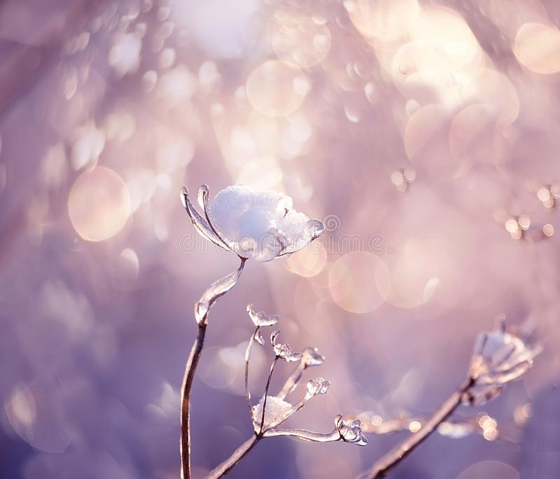 Delicate flower with white frost. Artistic photo of winter flowers in the snow. Soft selective focus royalty free stock photo