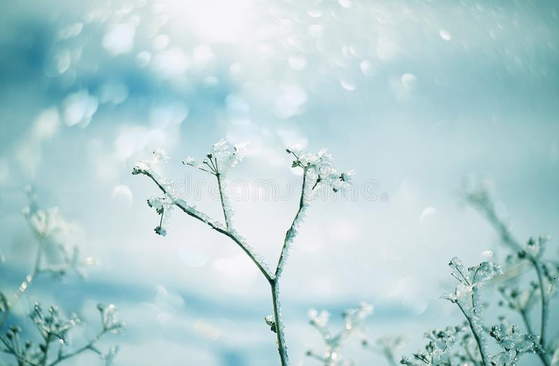 Delicate flower with white frost. Artistic photo of winter flowers in the snow. Soft selective focus stock photo