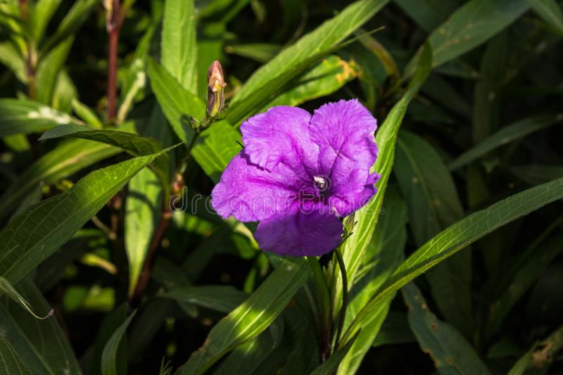 Purple Flower in a Delray Beach Park. A delicate flowerin a Delray Beach -public park in spring royalty free stock image