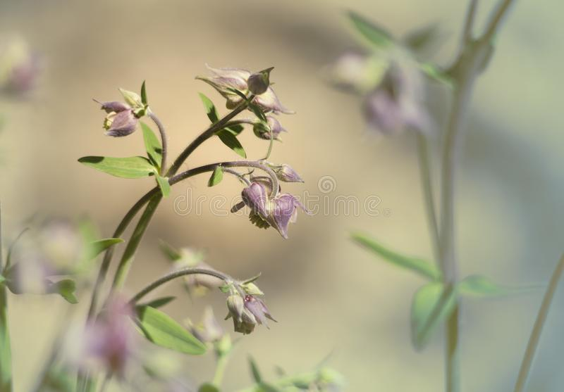 Delicate flowers aquillegia bowed their heads on pastel blue and pink background. On a  warm spring morning in the garden royalty free stock photo