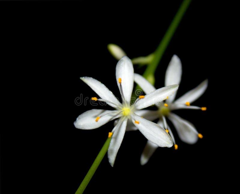 Delicate Flowers Chlorophytum Stock Photography
