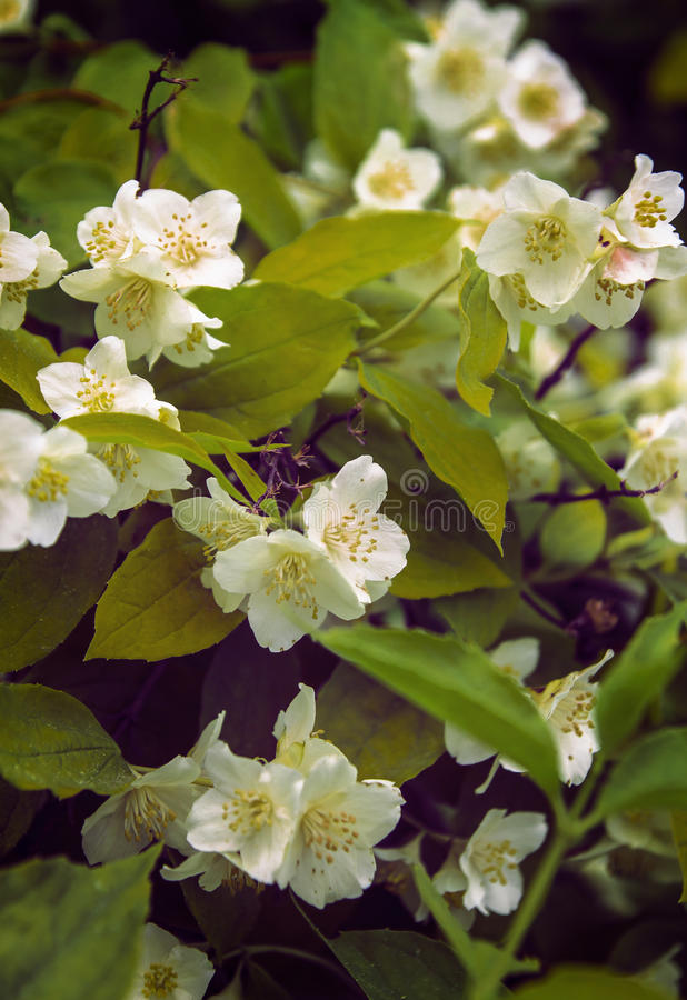 Delicate flowers fragrant jasmine spring. bunch of flowers.  stock photography