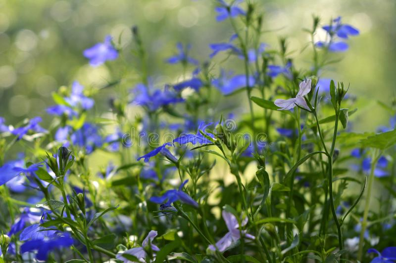 Delicate flowers of lobelia erinus on blurred natural background.  royalty free stock photography