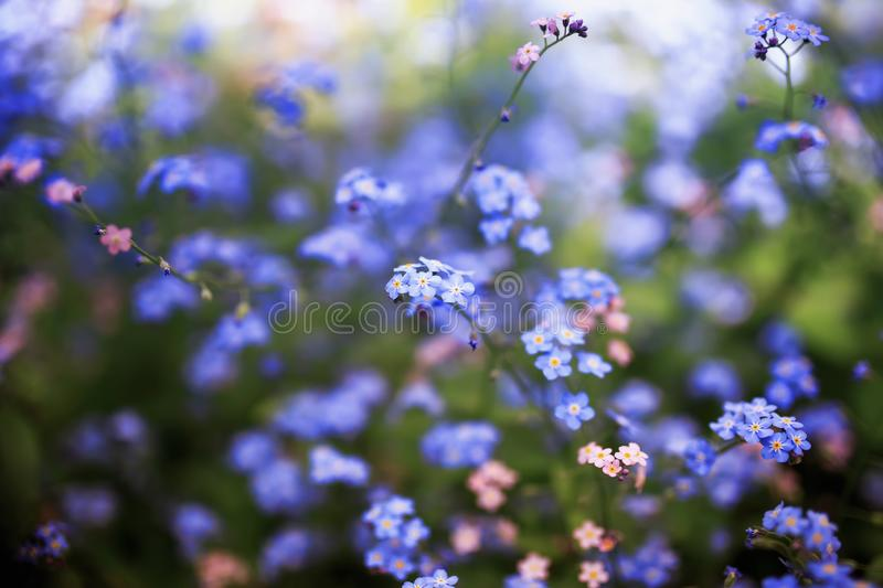 Delicate forget-me-not flowers of various shades of blue and pink got tired in the spring sunny garden stock photography