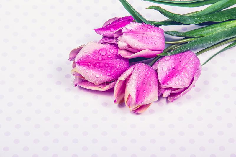 Delicate fresh purple tulips. Tulips with water drops. Copy space. Dew on tulips. Copy space royalty free stock photography