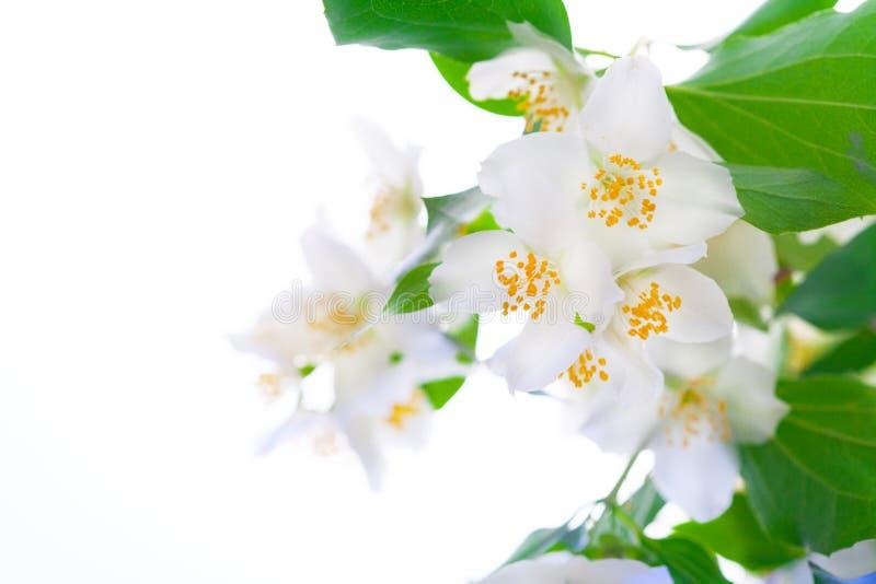 Delicate jasmine flowers on white background. Aromatherapy with jasmine flower. Murraya paniculata flower stock photos