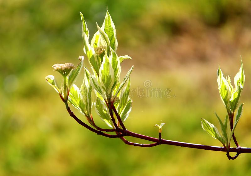 Dogwood leaves, enclosing seeds, delicate in the sunlight. Delicate leaves of a dogwood shrub, with seeds, seen in bright sunlight against a shaded background royalty free stock photos
