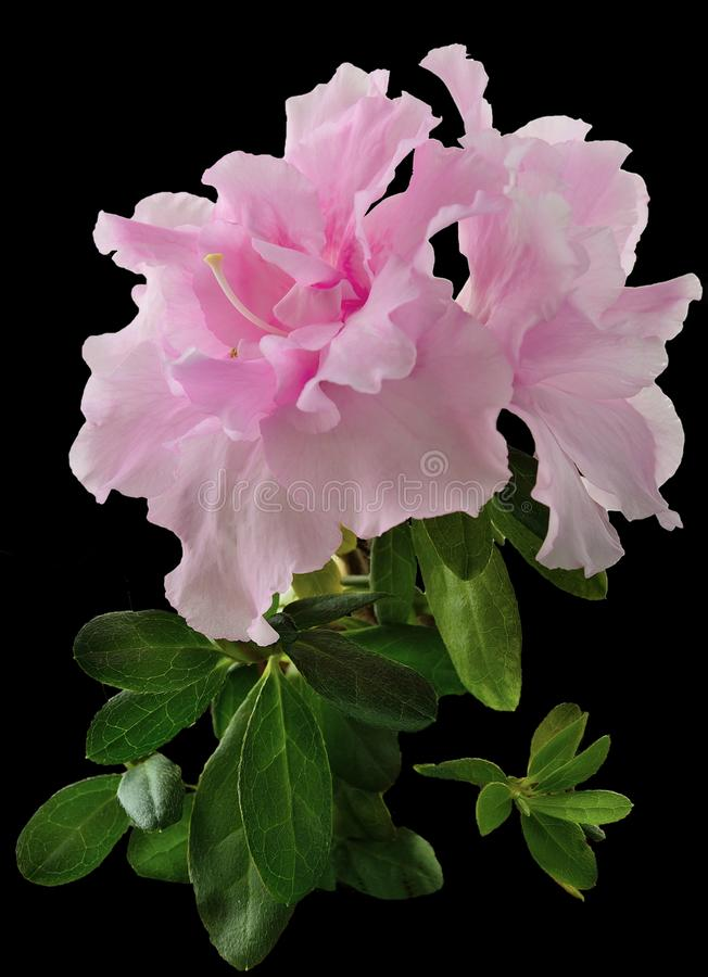 Delicate light pink Azalea flowers Rhododendron with leaves cl royalty free stock image