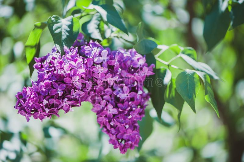 Delicate lilac on green, natural background,. Space for text, postcard stock images