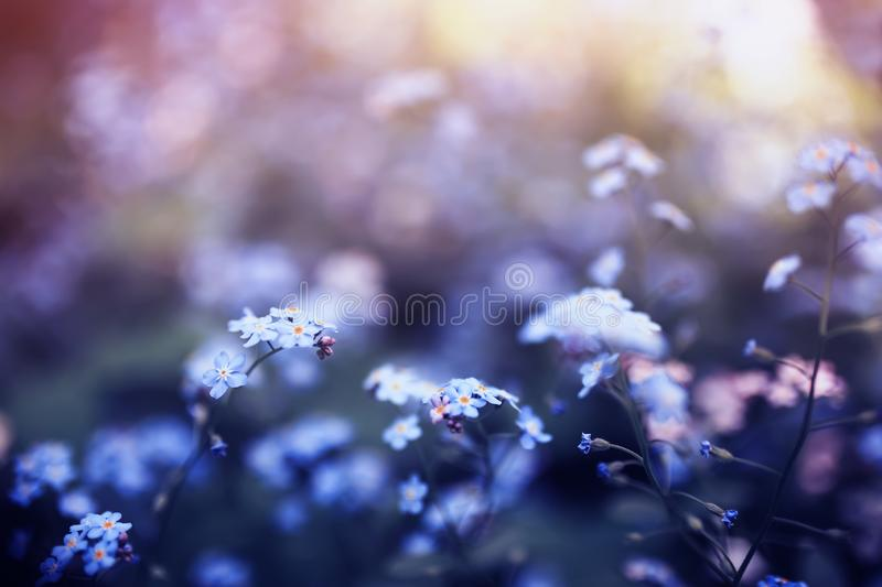 delicate forget-me-not flowers of various shades of blue and pink got tired in the spring sunny garden royalty free stock photos
