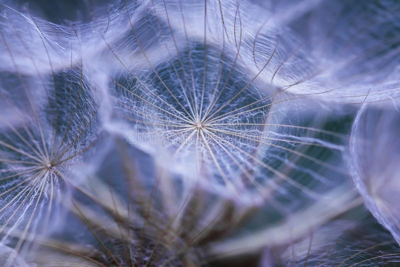 Delicate natural background of airy fluffy dandelion flower seed stock photography