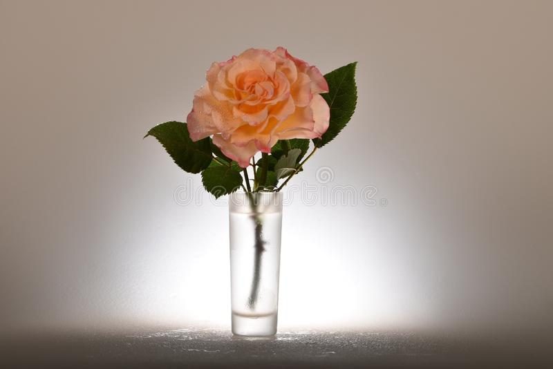 A delicate orange rose in a glass of water stock photo