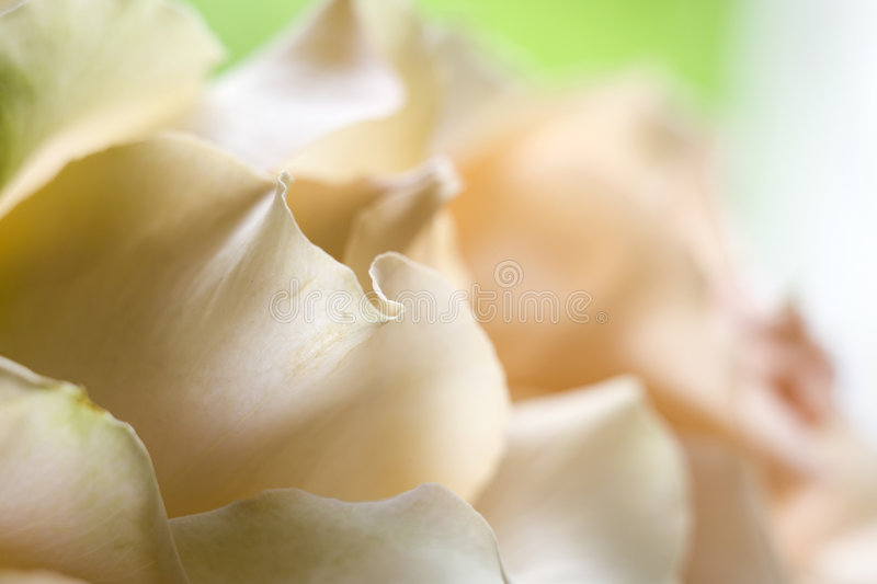 Download Delicate orange roses stock photo. Image of colored, delicate - 2574108