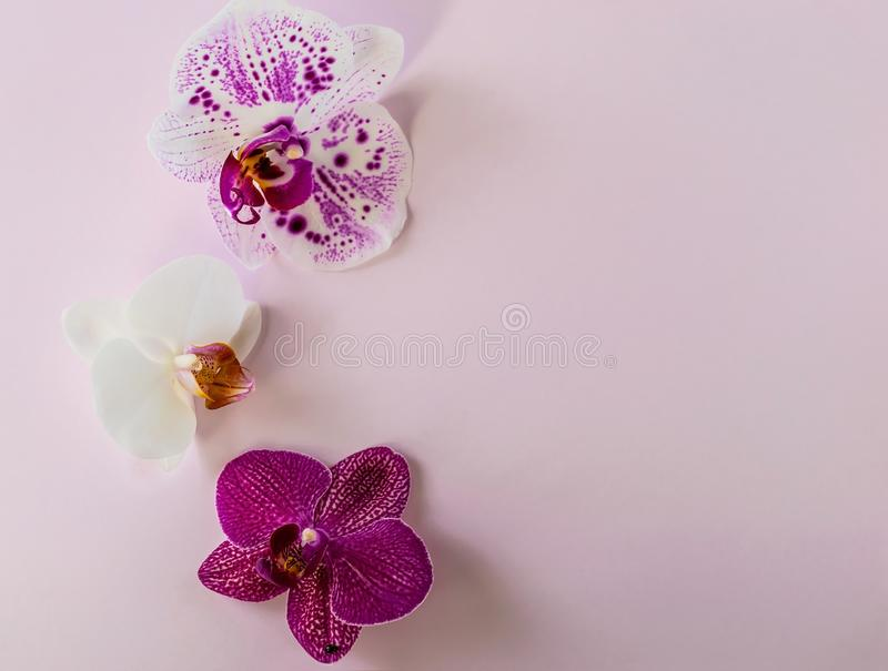 Delicate orchid colorful flowers on a pink background flat lay overhead royalty free stock image