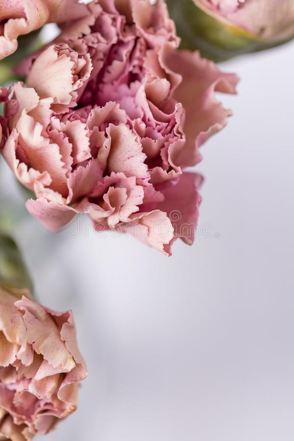 Delicate pink carnation flowers on a light background. Copy space. Delicate pink carnation flowers on a light background stock image