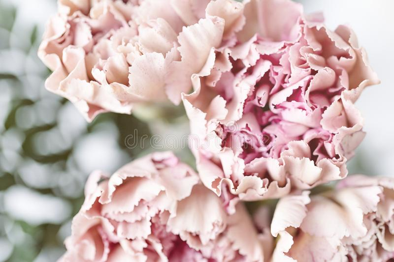 Delicate pink carnation flowers on a light background. Soft focus. Delicate pink carnation flowers on a light background stock photography