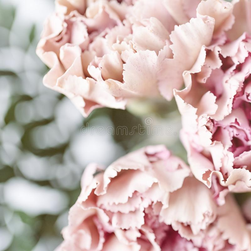 Delicate pink carnation flowers on a light background. Soft focus. Delicate pink carnation flowers on a light background royalty free stock photos