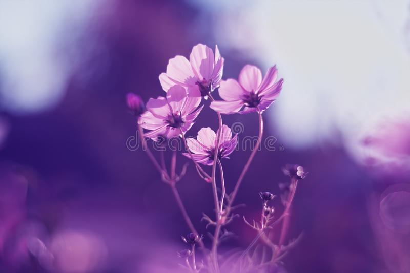 Delicate pink cosmos flower on a purple background stock photos