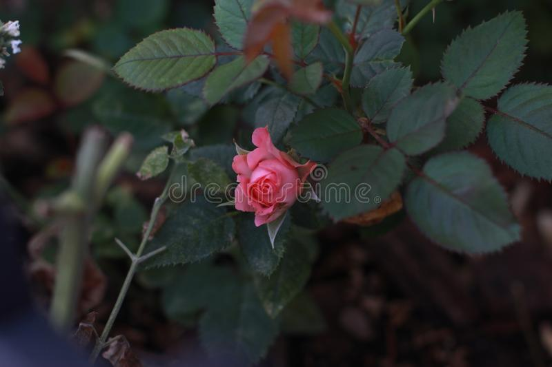 A stunningly beautiful rose in the summer garden. stock photo