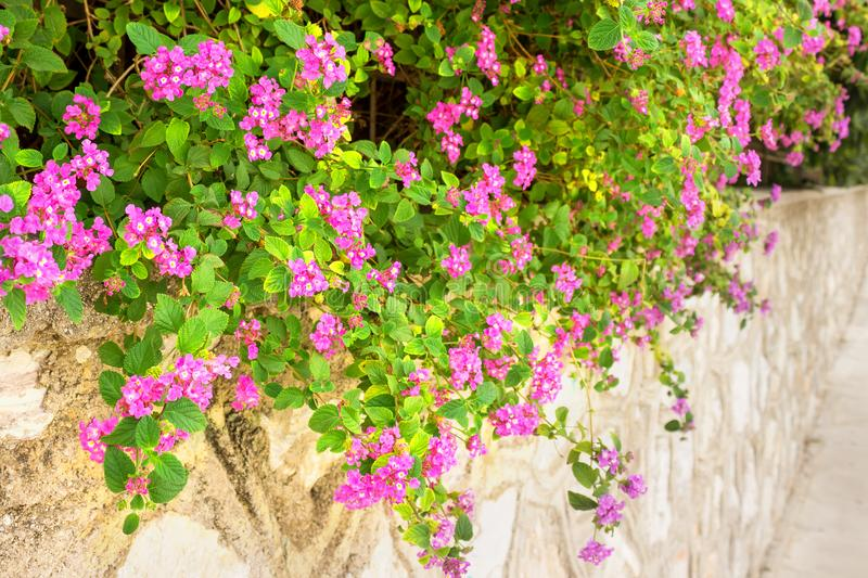 Delicate pink flowers on a stone fence. royalty free stock images