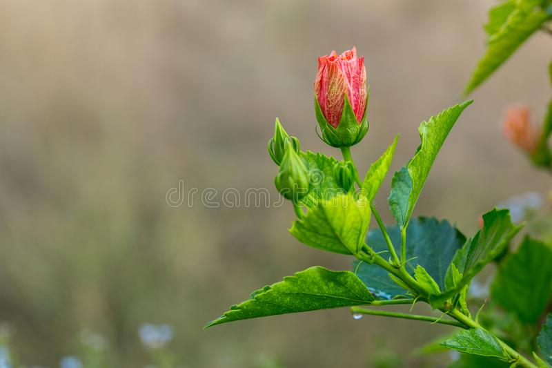 Delicate pink hibiscus bud flower with young foliage on the light blurred background in the tropical garden. royalty free stock images