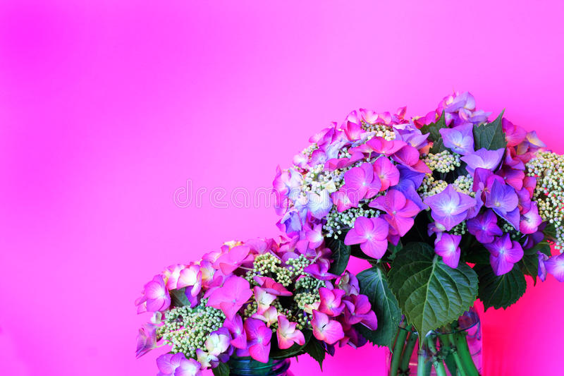 Download Delicate Pink Lacecap Hydrangea On Pink Stock Photo - Image: 31755618