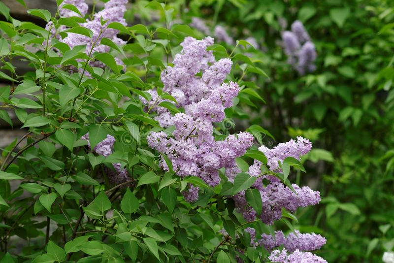 Delicate pink lilac flowers on the bushes royalty free stock photo