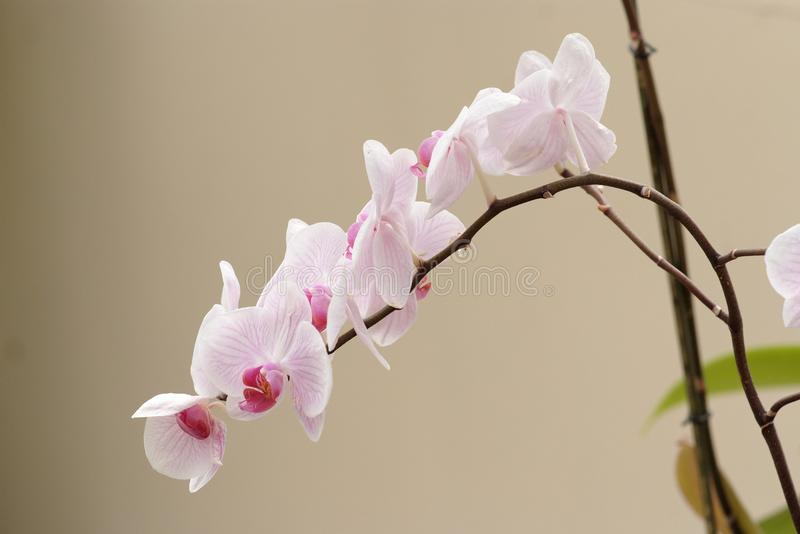 Delicate Pink Orchid Flowers On The Curved Branch Royalty Free Stock Photography