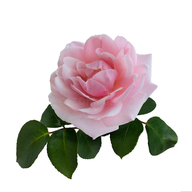 Delicate pink rose with green leaves. Isolated on white background royalty free stock photos